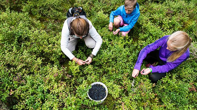 plocka blåbär i Småland